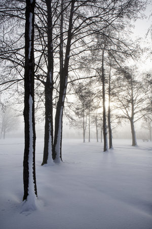 location shot: Austria, Mondsee, snow-covered trees at backlight