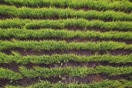 location shot: Indonesia, Bali, Green rice seedlings in ricefield
