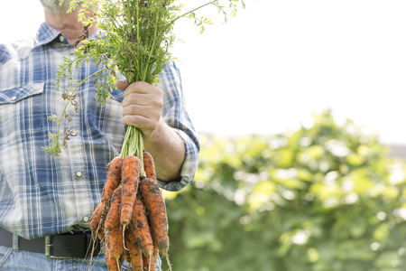 cruddy: Farmer on organic farm holding bunch of carrots