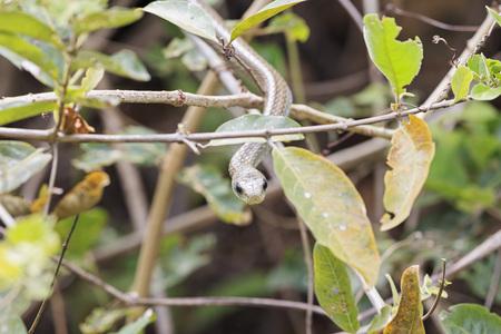 South America, Brasilia, Mato Grosso do Sul, Pantanal, Chironius laurenti