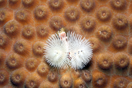 Caribbean, Antilles, Curacao, Westpunt, Christmas tree worm, Spirobranchus giganteus, on False Knob Coral, Montastrea cavernosa