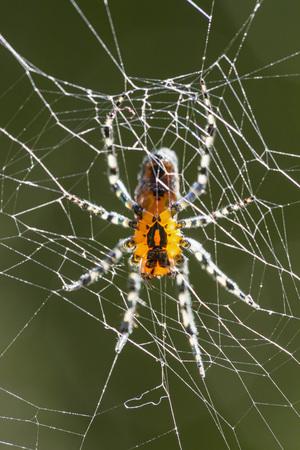 araneidae: South America, Brasilia, Parana, Iguazu National Park, Orb weaver, Alpaida sp LANG_EVOIMAGES