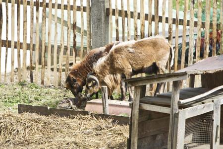 Germany, Bavaria, Birth of a lamb