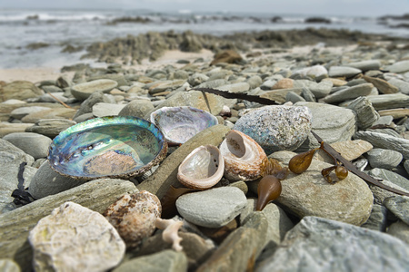 pepples: New Zealand, Chatham Island, Kelp and seashells on pepples