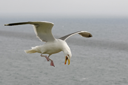 ridibundus: Germany, Schleswig-Holstein, Herring gull, Larus argentatus, flying