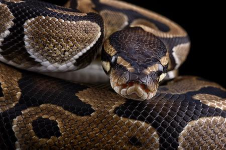 boas: Royal Python, Python regius, partial view