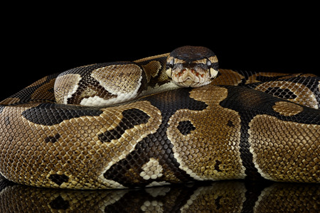 Royal Python, Python regius, partial view