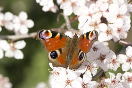 io: Germany, Bavaria, European Peacock, Inachis io, close up