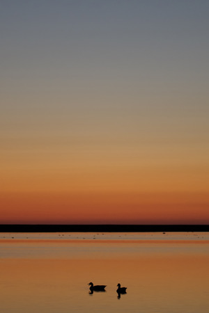 dikes: Germany, Schleswig-Holstein, North Sea, Grey geese, Anser anser at sunset