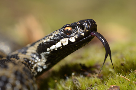Portrait of Common viper with outstretched tongue