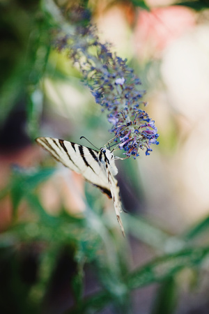 swallowtails: Scarce swallowtail hanging at blossom of on butterfly bush LANG_EVOIMAGES