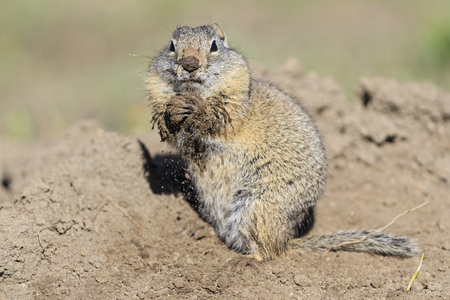 cruddy: USA, Wyoming, Yellowstone Nationalpark, Uinta ground squirrel
