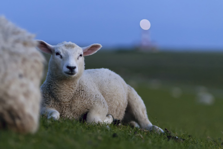 dikes: Germany, North Frisia, Westerhever, sheep on dike LANG_EVOIMAGES