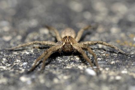 nursery web spider: Nursery web wpider, Pisaura mirabilis