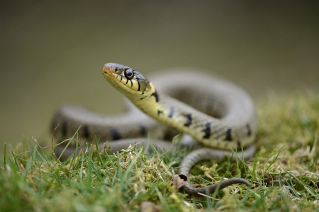 Grass snake on a meadow
