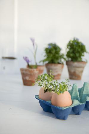 not open: Cress growing in eggshells LANG_EVOIMAGES