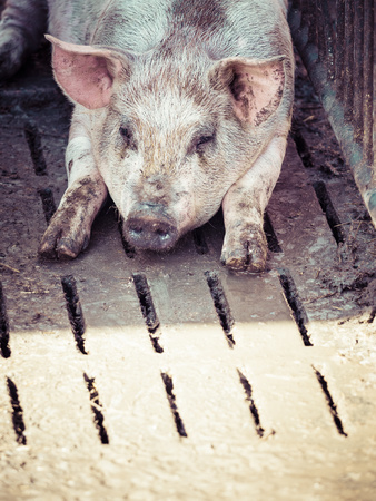 cruddy: Germany, domestic pig having a rest LANG_EVOIMAGES