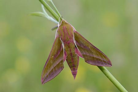 deilephila: Deilephila elpenor LANG_EVOIMAGES