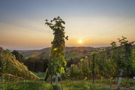 steiermark: Austria, Styria, sunset over vineyard
