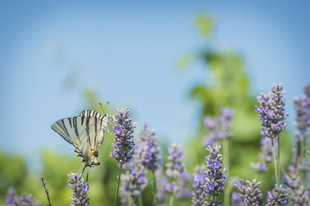 swallowtails: Scarce swallowtails, iphiclides podalirius, lavender flowers