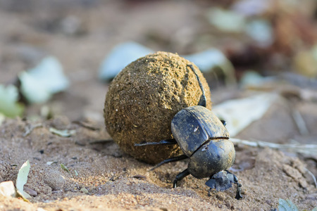 coleoptera: Dung beetle, Scarabaeus sacer, with dung ball