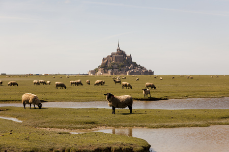 France, view to Mont Saint-Michel with grazing flock of sheep in the foreground LANG_EVOIMAGES