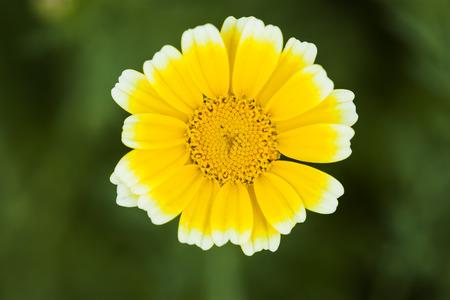 coronarium: Garland Chrysanthemum