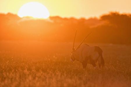 Botswana, Kalahari, Central Kalahari Game Reserve, gemsbok at sunset