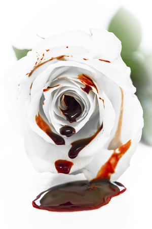 White rose blossom with fresh blood