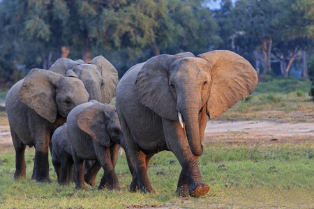 Africa, Zimbabwe, Mana Pools National Park, herd of elephants with young animals LANG_EVOIMAGES