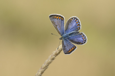 Chalkhill blue on a spike LANG_EVOIMAGES
