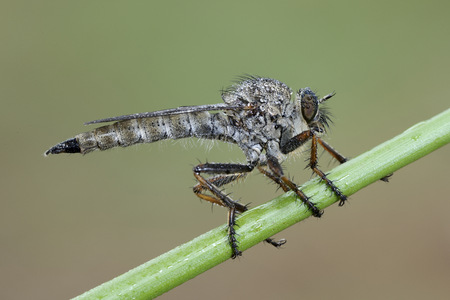 Common robberfly on wet blade of grass LANG_EVOIMAGES