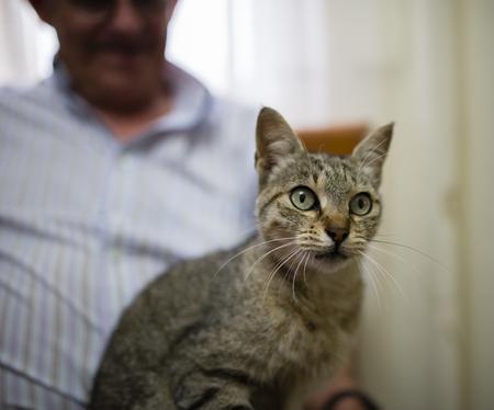 Portrait of tabby cat sitting on the lap of senior man