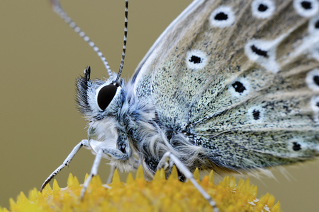 Common blue butterfly on a blossom, close-up