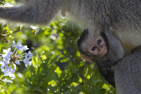 wildlife preserve: South Africa, Addo Elephant National Park, portrait of young green monkey