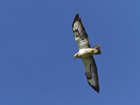 Buzzard in flight LANG_EVOIMAGES