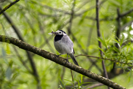 White wagtail, Motacilla alba, with dragonfly larva LANG_EVOIMAGES