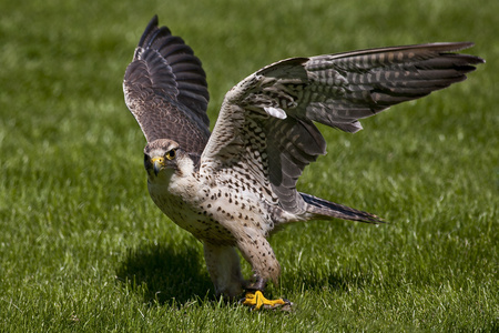 Lanner falcon, Falco biarmicus, spread wings LANG_EVOIMAGES