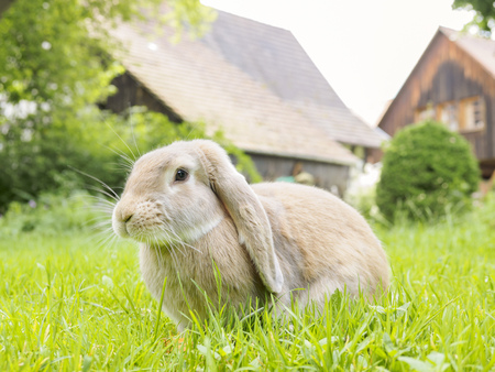 leporidae: Germany, Rabbit in garden