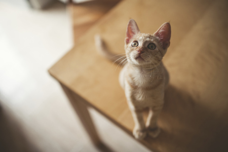 Tabby kitten sitting on a table looking up