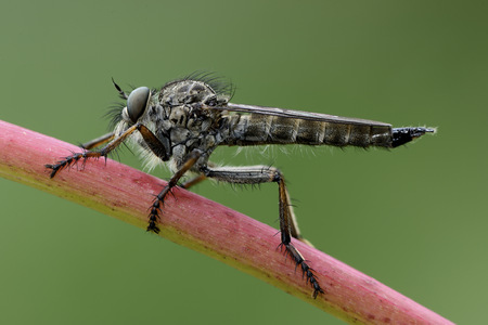 Robber fly on a twig
