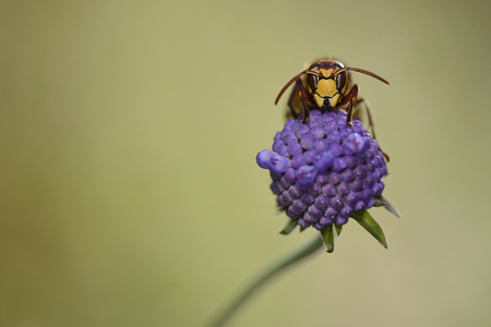 European hornet on a purple blossom