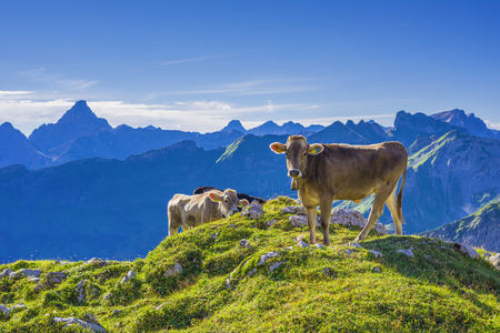 secluded: Germany, Allgaeu, young brown cattle on an Alpine meadow near Oberstdorf