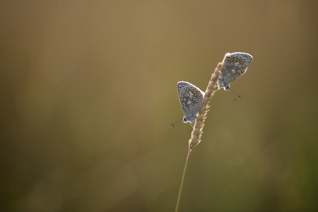 Two Common blue hanging on a spike LANG_EVOIMAGES