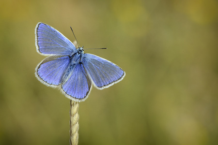 Common blue hanging on a spike