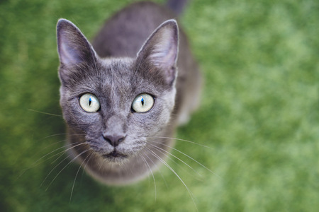 Russian blue looking up to camera