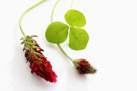 red clover: Red trifoil in front of white ground LANG_EVOIMAGES