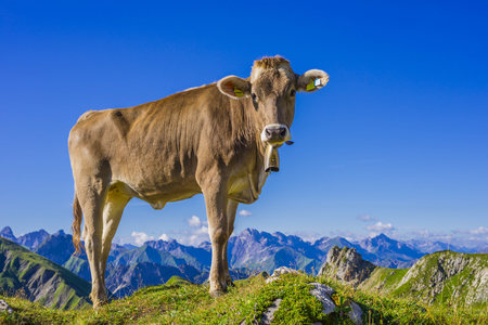 mountaintops: Germany, Allgaeu, young brown cattle standing on an Alpine meadow near Oberstdorf