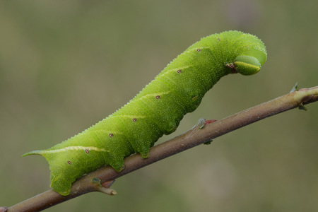 Caterpillar of eyed hawk-moth on a twig LANG_EVOIMAGES