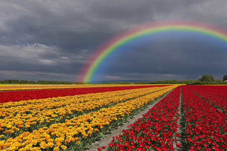 Netherlands, Keukenhof, view to rainbow at cloudy sky with tulip fields in the foreground LANG_EVOIMAGES